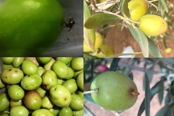 Línea 9. Formulado precomercial hongos entomopatógenos para el control de la mosca del olivo Bactrocera oleae (Gmelin)