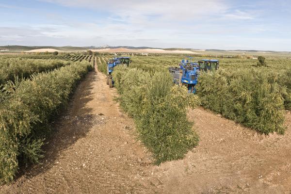 Línea 10. Nuevas variedades de olivo adaptadas al olivar en seto